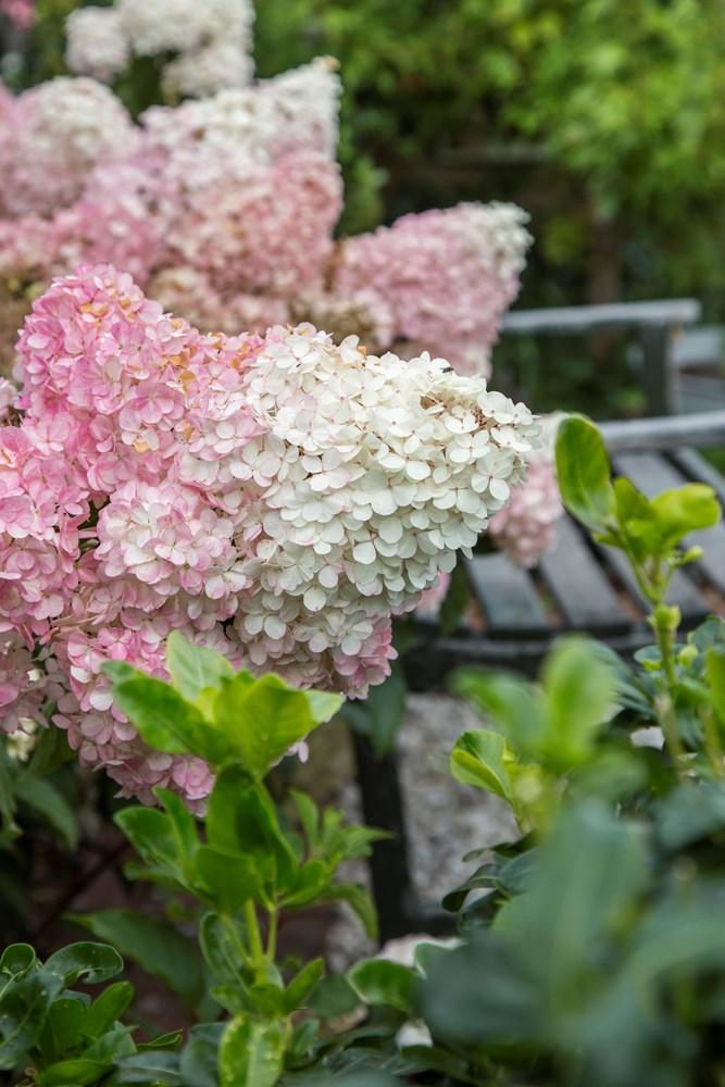 Website/Plants/2144398583/Images/Gallery/h_sundaefraise_14.0.jpg