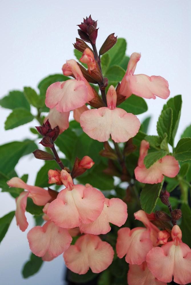 Website/Plants/2144398592/Images/Gallery/s_heatwaveglow_02.0.jpg