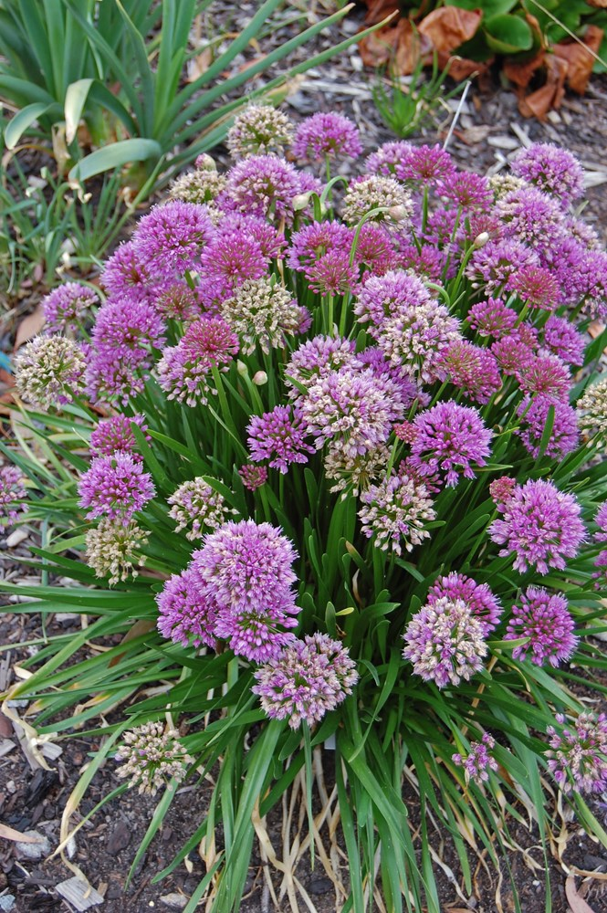 Website/Plants/2144398614/Images/Gallery/a_millenium_02.0.jpg