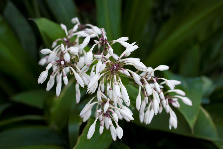 Website/Plants/2144398736/Images/Gallery/a_tepuna_04.0.jpg