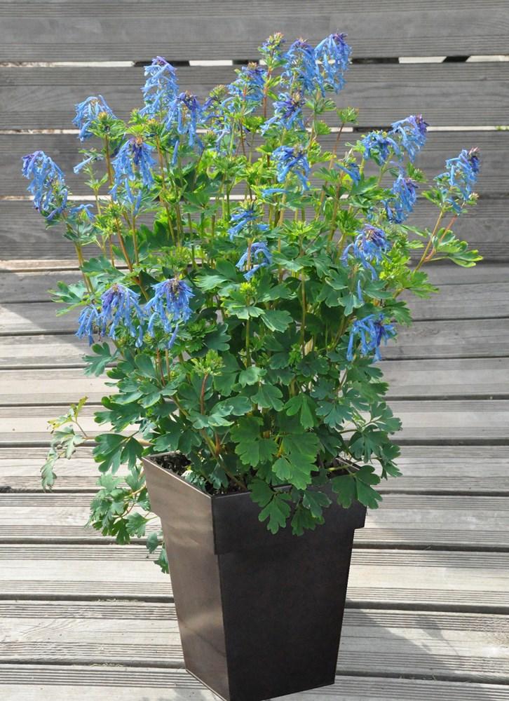 Website/Plants/2144398770/Images/Gallery/c_blue_line_02.0.jpg