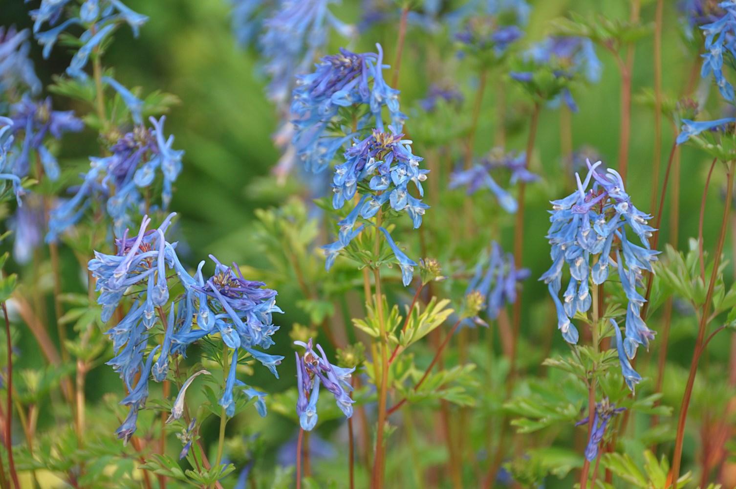 Website/Plants/2144398770/Images/Gallery/c_blue_line_03.0.jpg
