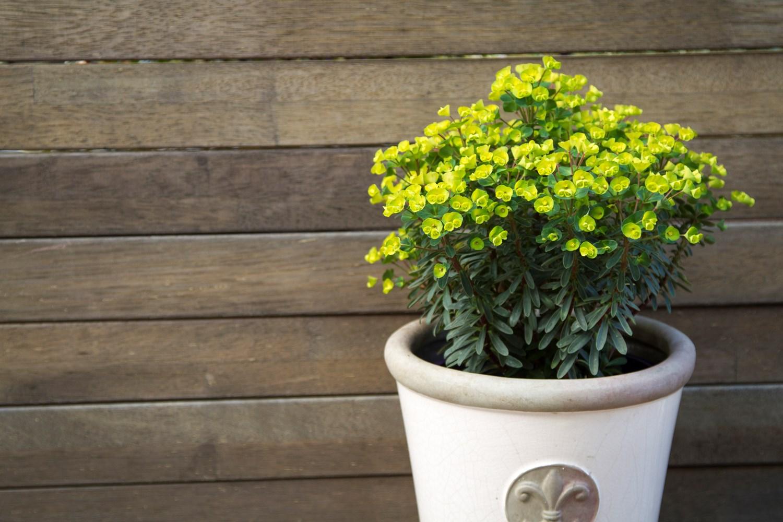 Website/Plants/2144398833/Images/Gallery/e_ascotlilliput_01.0.jpg