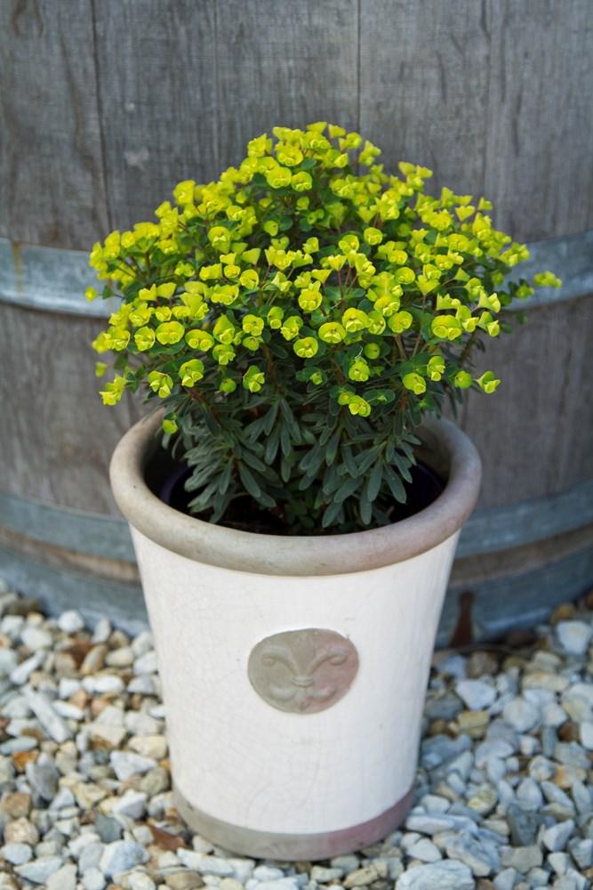 Website/Plants/2144398833/Images/Gallery/e_ascotlilliput_02.0.jpg