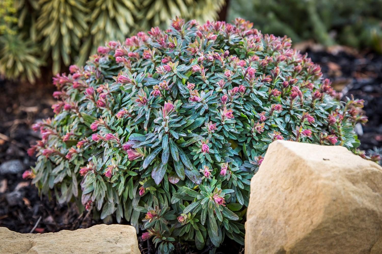 Website/Plants/2144398833/Images/Gallery/e_ascotlilliput_04.0.jpg