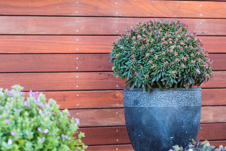 Website/Plants/2144398833/Images/Gallery/e_ascotlilliput_06.0.jpg