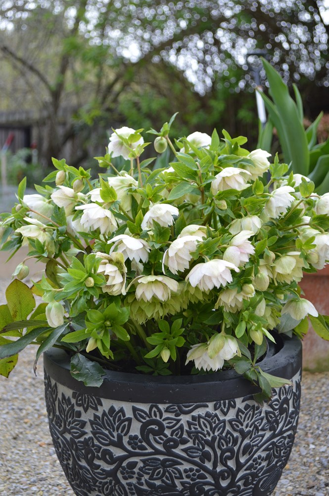 Website/Plants/2144398844/Images/Gallery/h_cinderella_02.0.jpg