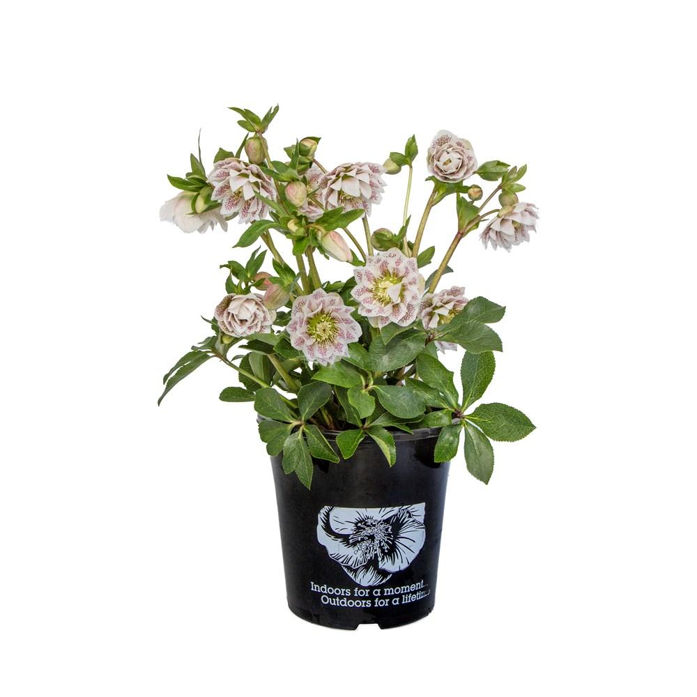 Website/Plants/2144398844/Images/Gallery/h_cinderella_onwhite.0.jpg