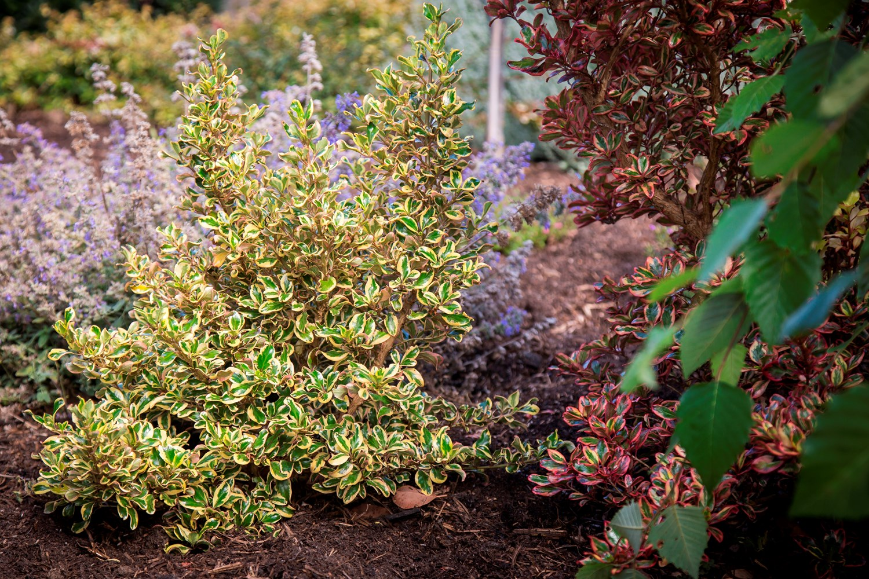 Website/Plants/2144398845/Images/Gallery/c_goldenstar_041.0.jpg