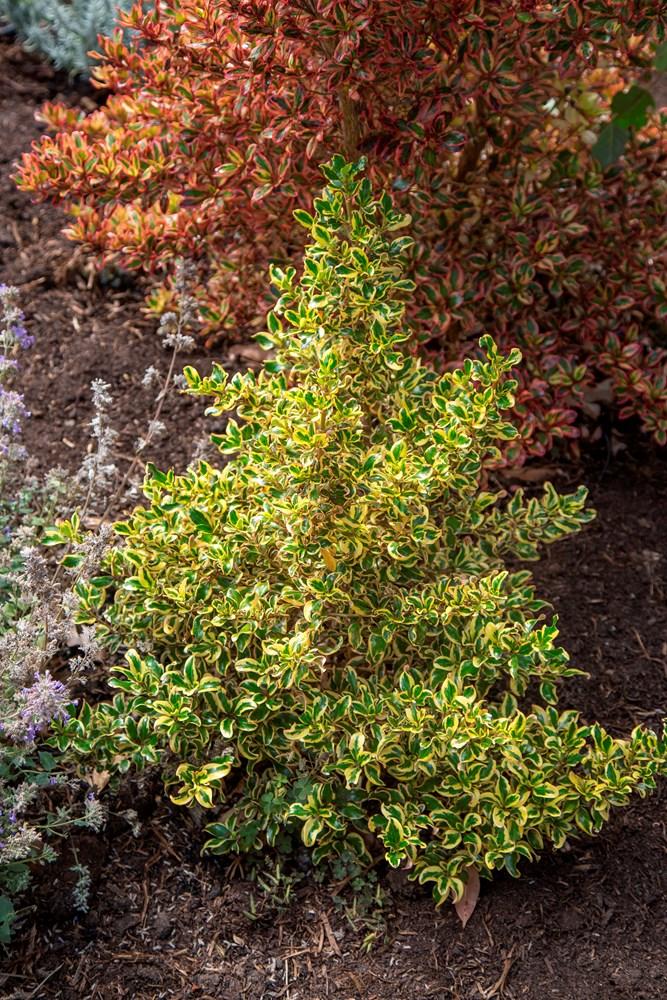 Website/Plants/2144398845/Images/Gallery/c_goldenstar_051.0.jpg