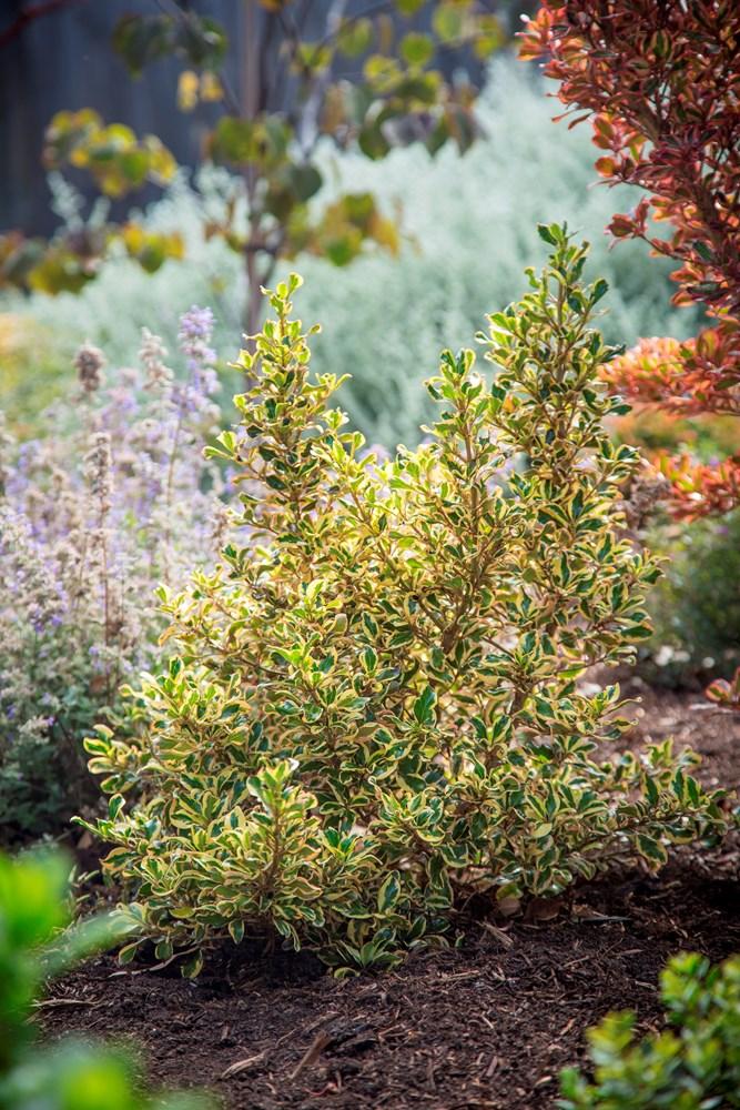 Website/Plants/2144398845/Images/Gallery/c_goldenstar_071.0.jpg