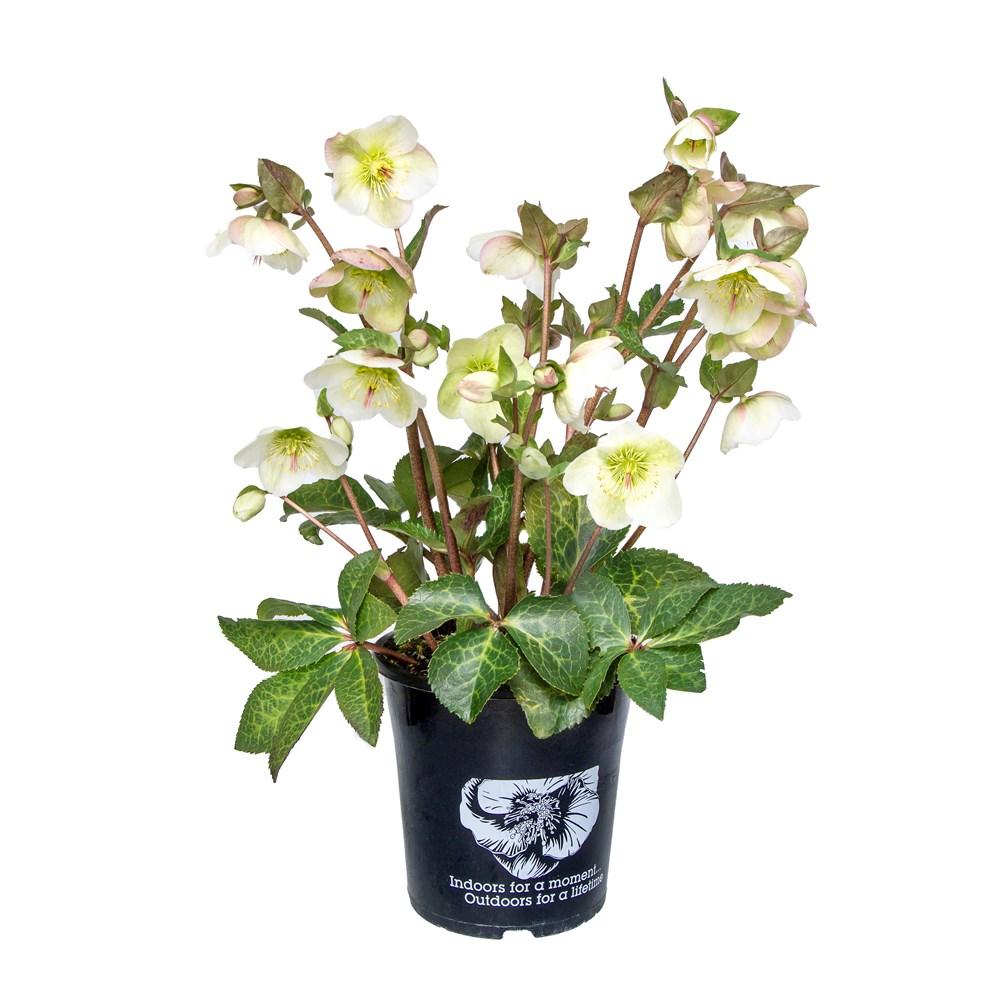 Website/Plants/2144398905/Images/Gallery/h_mollys_onwhite.0.jpg