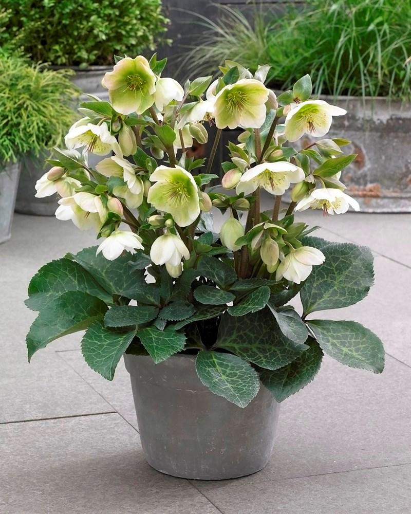 Website/Plants/2144398905/Images/Gallery/h_mollyswhite_03_copy.0.jpg