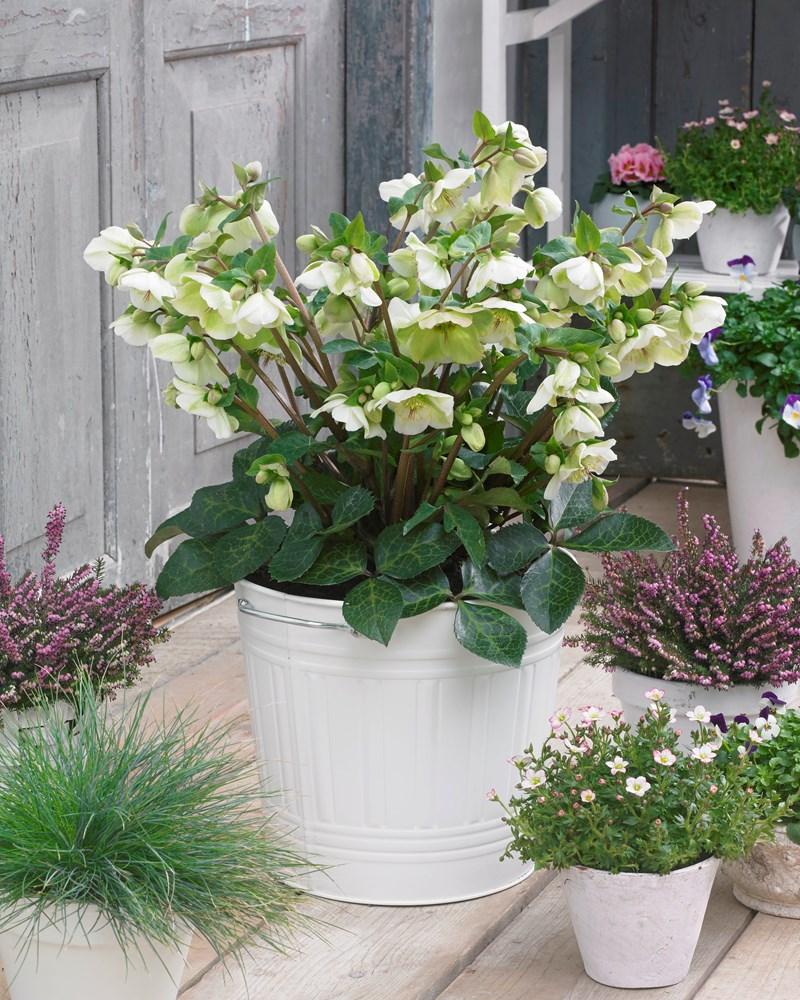 Website/Plants/2144398905/Images/Gallery/h_mollyswhite_04_hires.0.jpg