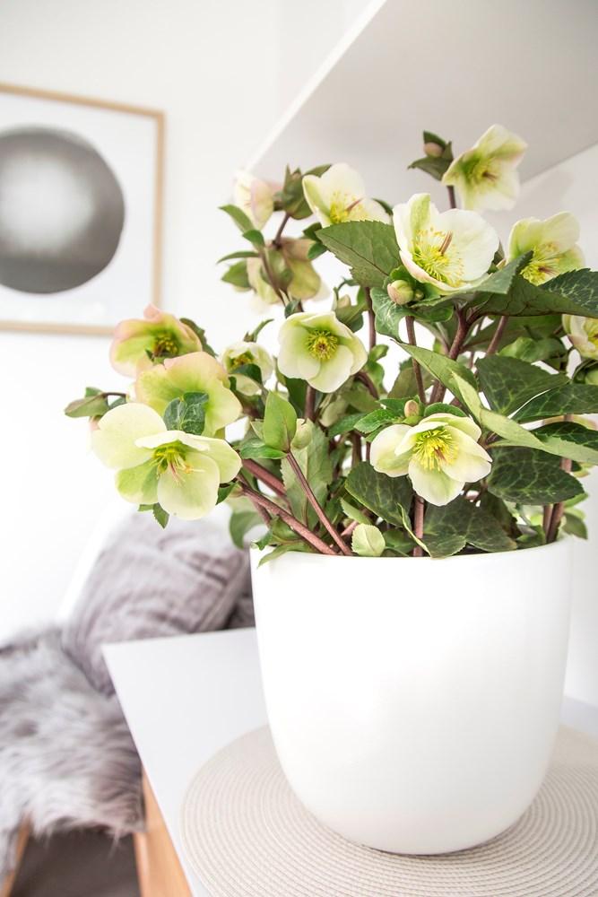 Website/Plants/2144398905/Images/Gallery/h_mollyswhite_11.0.jpg