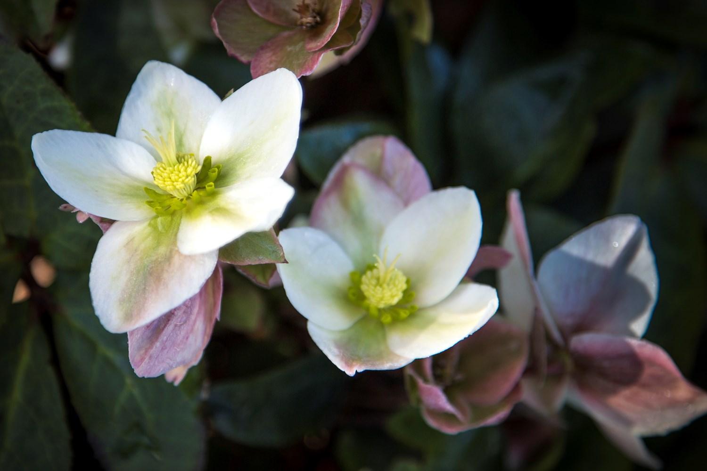 Website/Plants/2144398905/Images/Gallery/h_mollyswhite_13.0.jpg