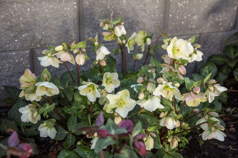 Website/Plants/2144398905/Images/Gallery/h_mollyswhite_14.0.jpg