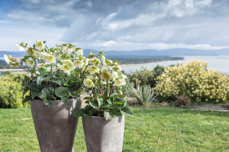 Website/Plants/2144398905/Images/Gallery/h_mollyswhite_19.0.jpg