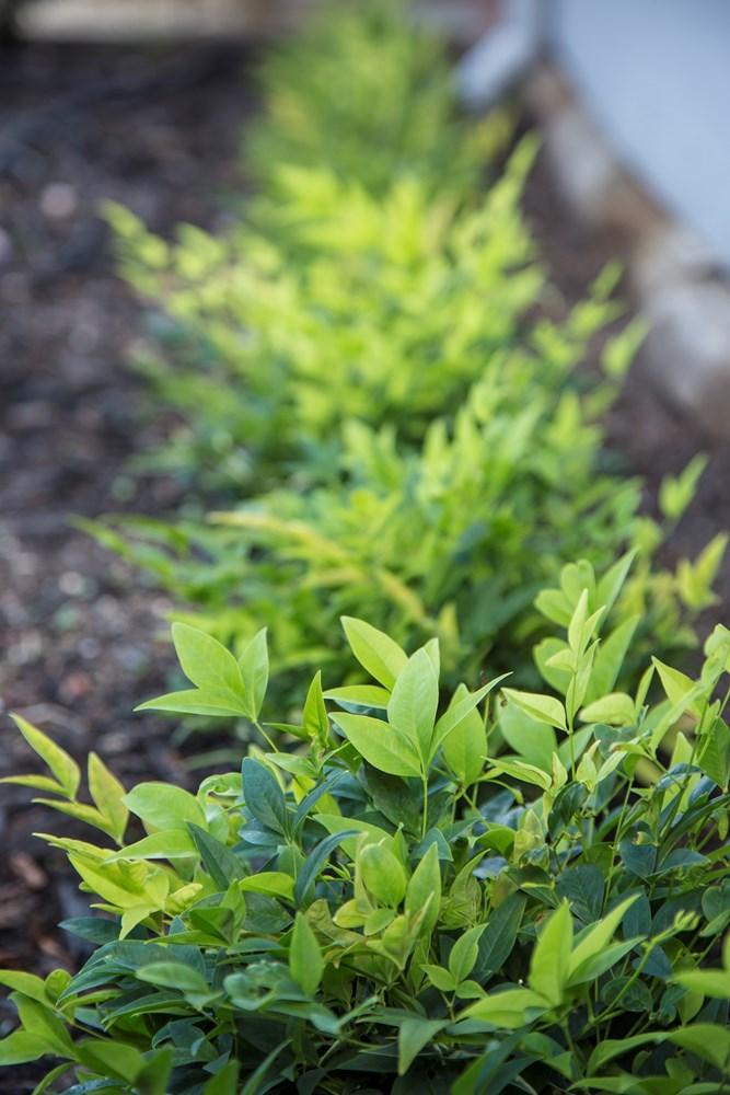 Website/Plants/2144398931/Images/Gallery/n_lemon_and_lime_05.0.jpg