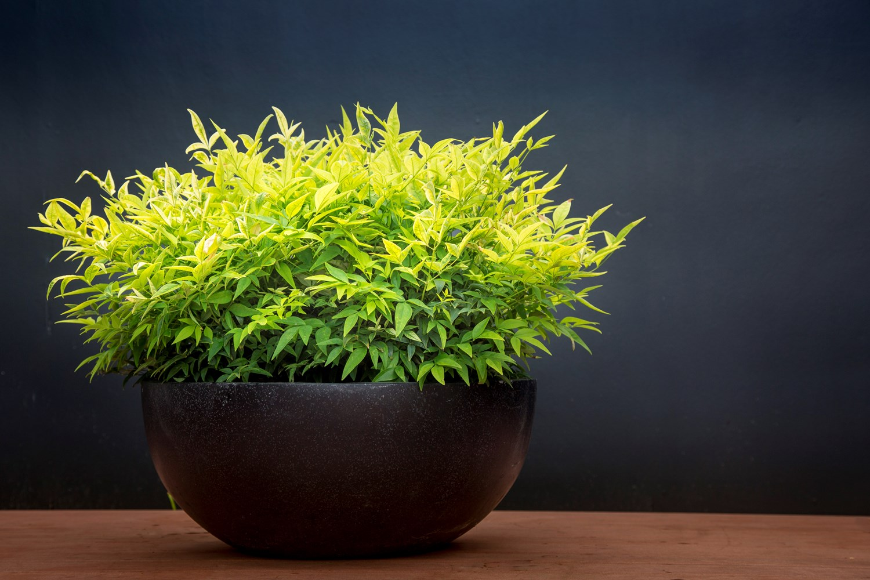 Website/Plants/2144398931/Images/Gallery/n_magical_lemon_and_lime_19.0.jpg