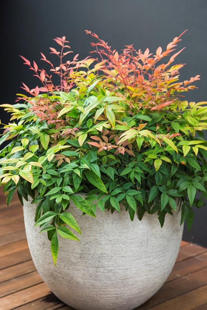 Website/Plants/2144398968/Images/Gallery/n_magical_daybreak_08.0.jpg