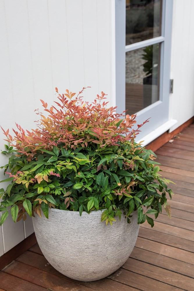 Website/Plants/2144398968/Images/Gallery/n_magical_daybreak_09.0.jpg
