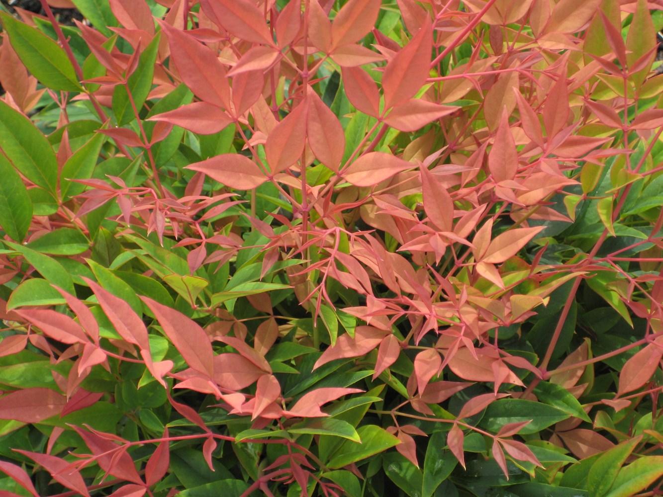 Website/Plants/2144398968/Images/Gallery/n_magical_sunrise_03.0.jpg