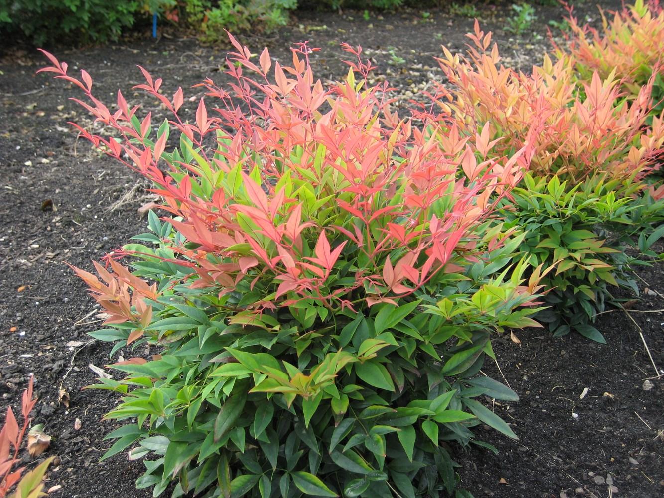 Website/Plants/2144398968/Images/Gallery/n_magical_sunrise_04.0.jpg