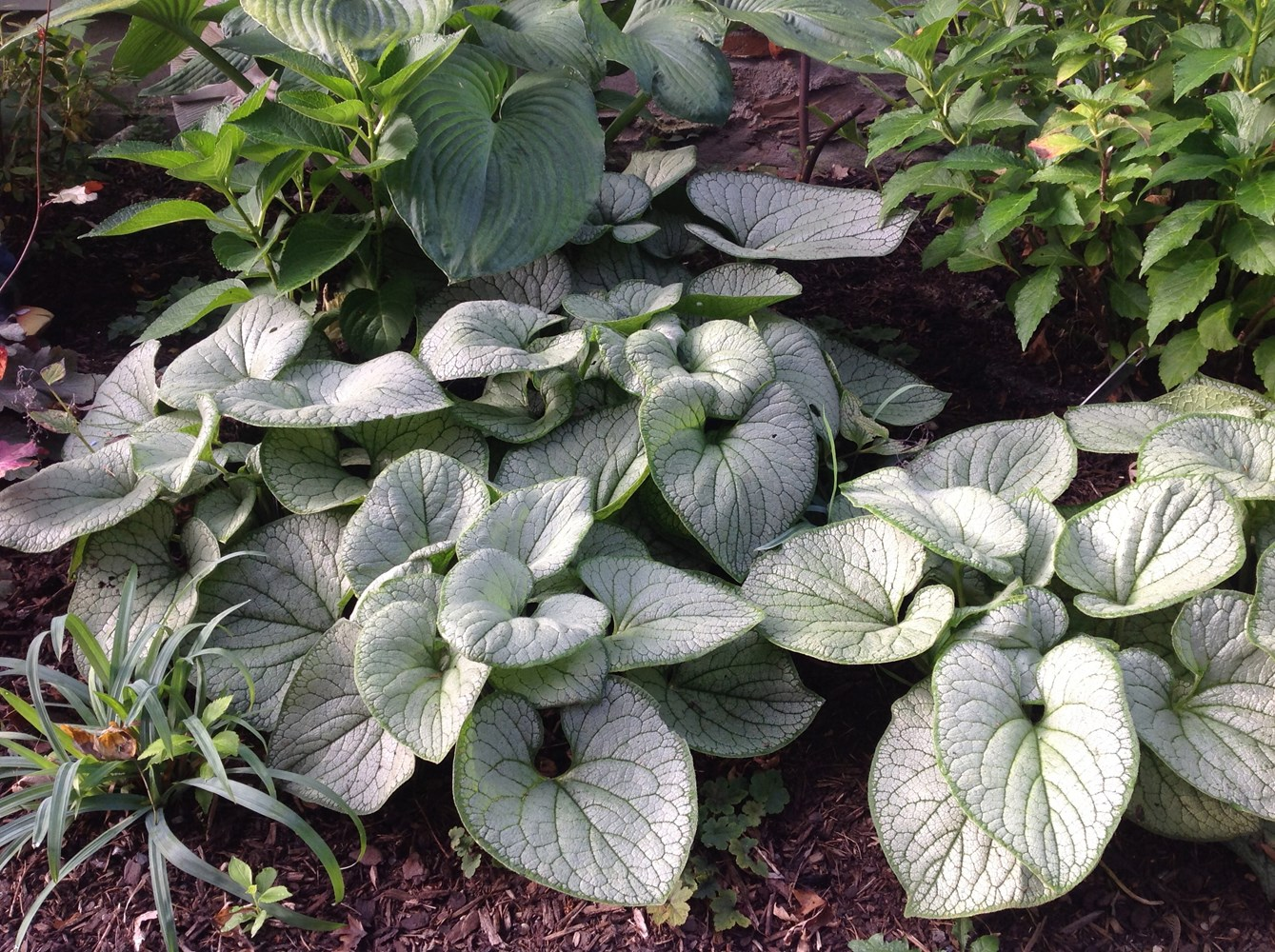 Website/Plants/2144399034/Images/Gallery/b_silverheart_03.0.jpg