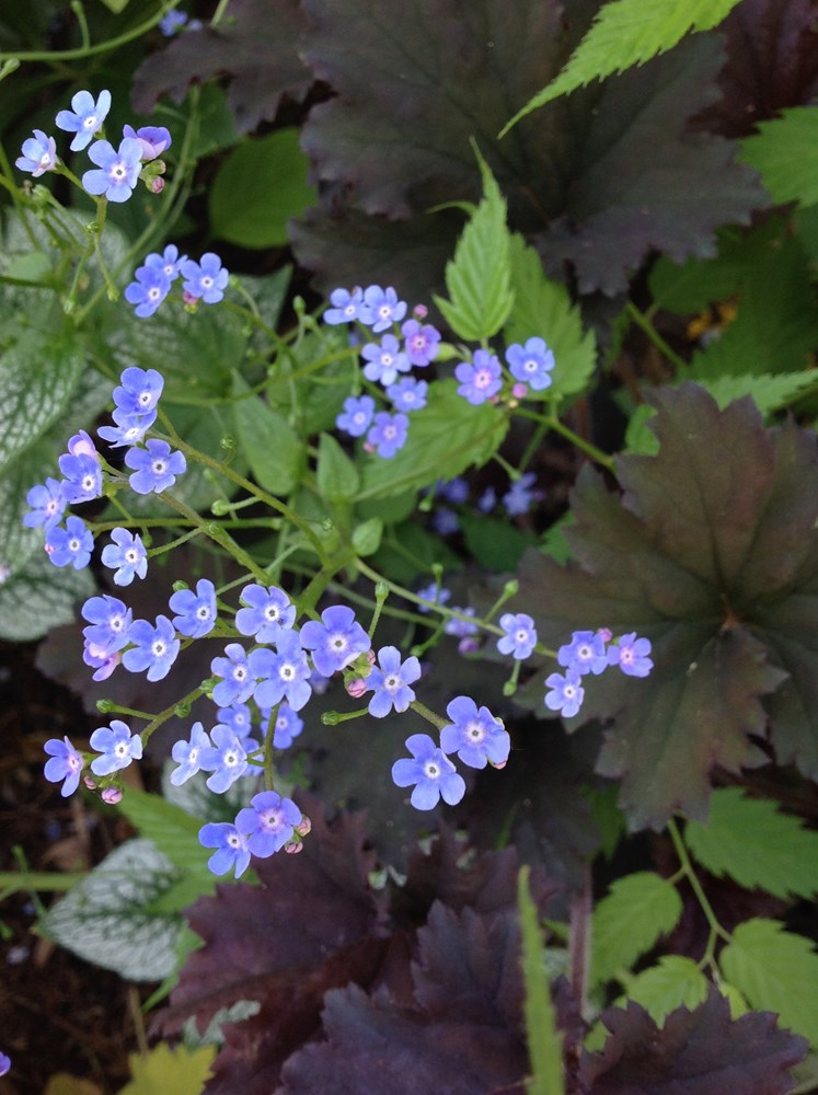 Website/Plants/2144399034/Images/Gallery/b_silverheart_04.0.jpg