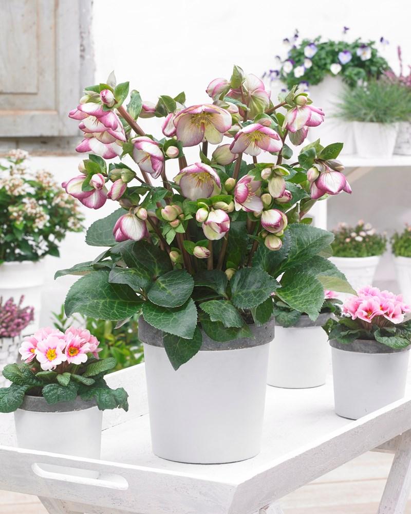 Website/Plants/2144399075/Images/Gallery/h_sophiesdelight_01.0.jpg