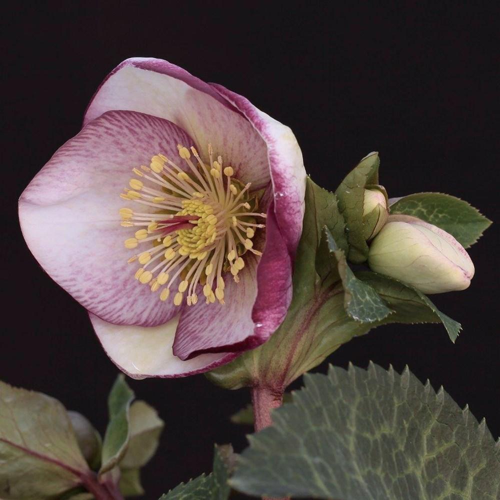 Website/Plants/2144399075/Images/Gallery/h_sophiesdelight_02.0.jpg