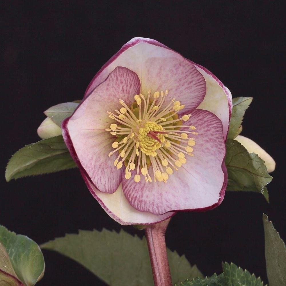Website/Plants/2144399075/Images/Gallery/h_sophiesdelight_03.0.jpg