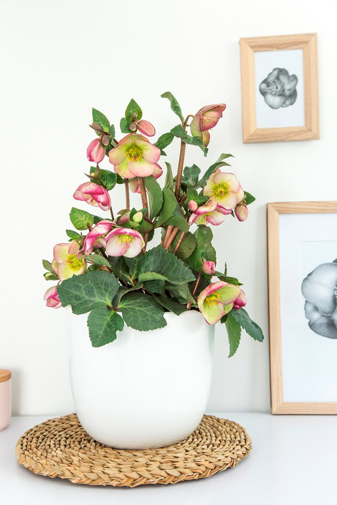 Website/Plants/2144399075/Images/Gallery/h_sophiesdelight_05.0.jpg