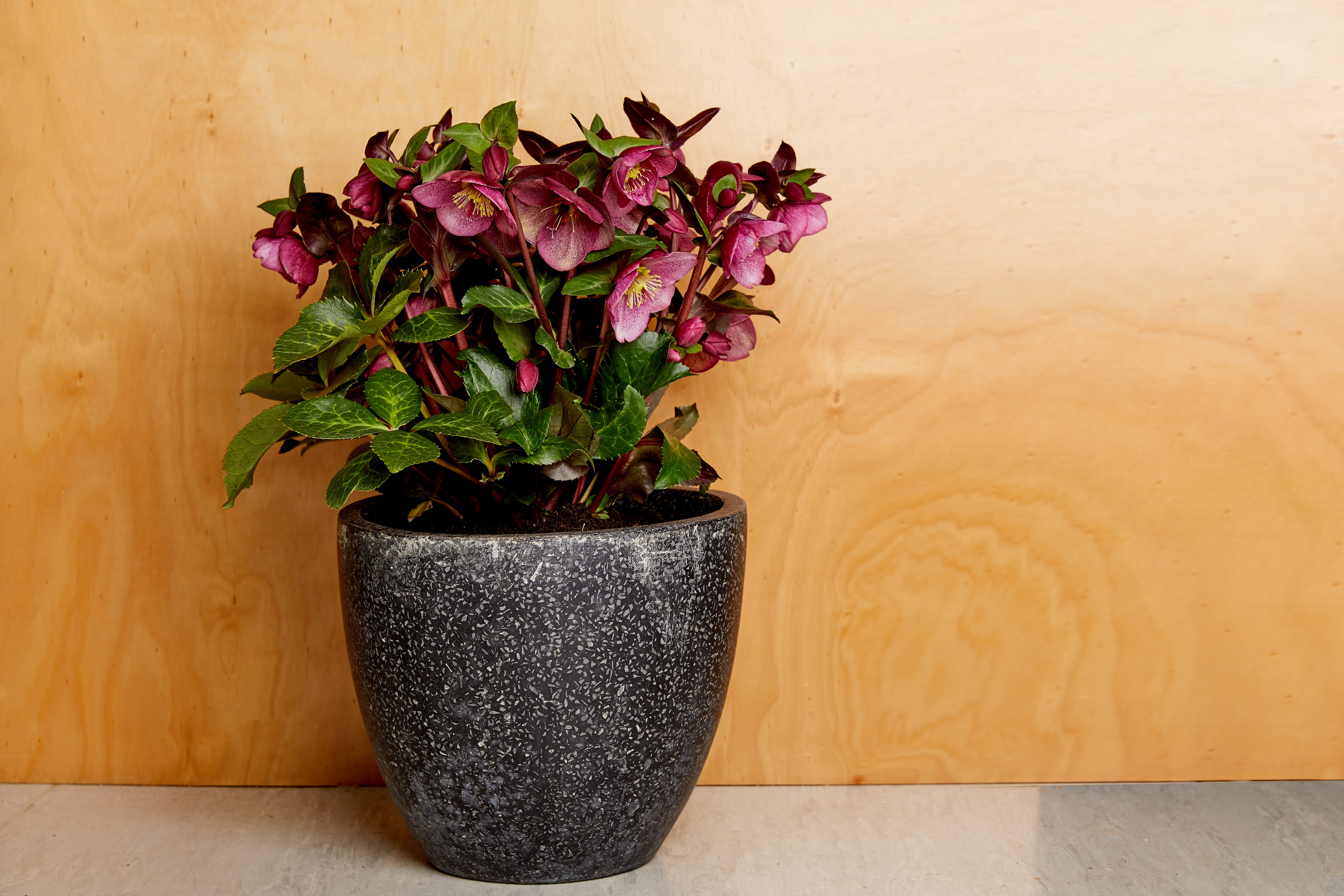 Website/Plants/2144399076/Images/Gallery/PMA_Helaboris_Plain_2.0.jpg