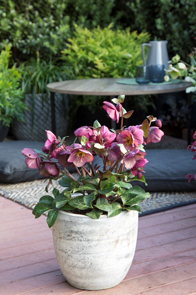 Website/Plants/2144399076/Images/Gallery/h_charmer_03.0.jpg