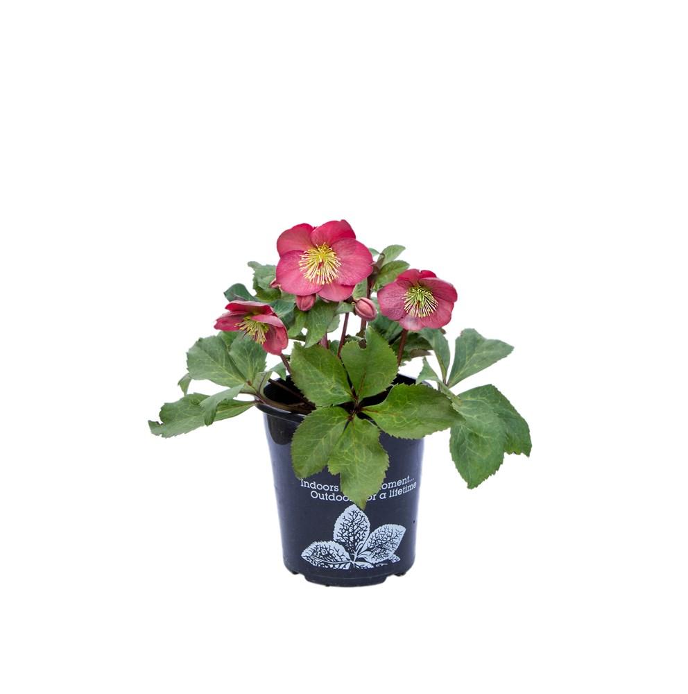 Website/Plants/2144399080/Images/Gallery/H.EmmasDream-OnWhite-11.0.jpg