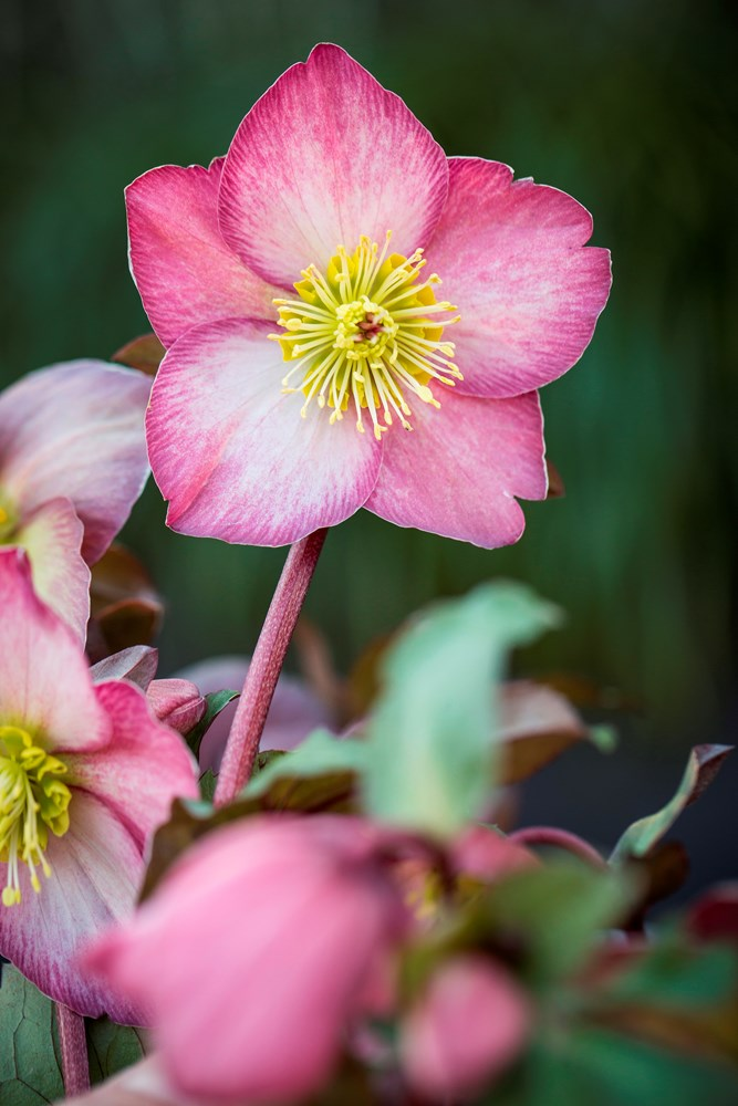 Website/Plants/2144399080/Images/Gallery/h_emmas_dream_03.0.jpg