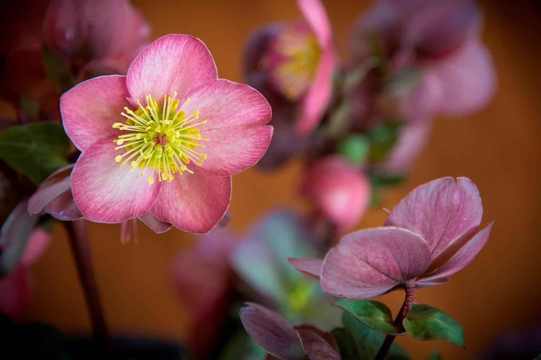 Website/Plants/2144399080/Images/Gallery/h_emmas_dream_07.0.jpg
