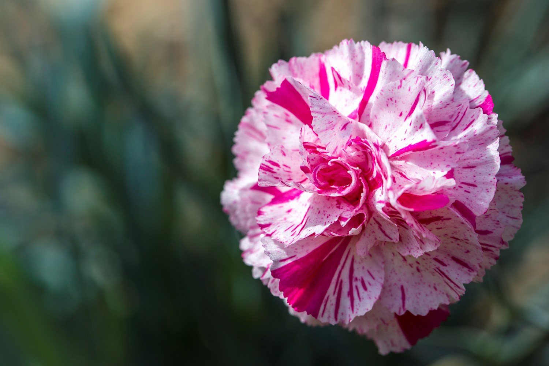 Website/Plants/2144399101/Images/Gallery/d_pinball_wizard_01.0.jpg