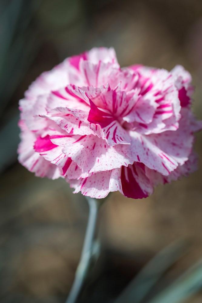 Website/Plants/2144399101/Images/Gallery/d_pinball_wizard_05.0.jpg