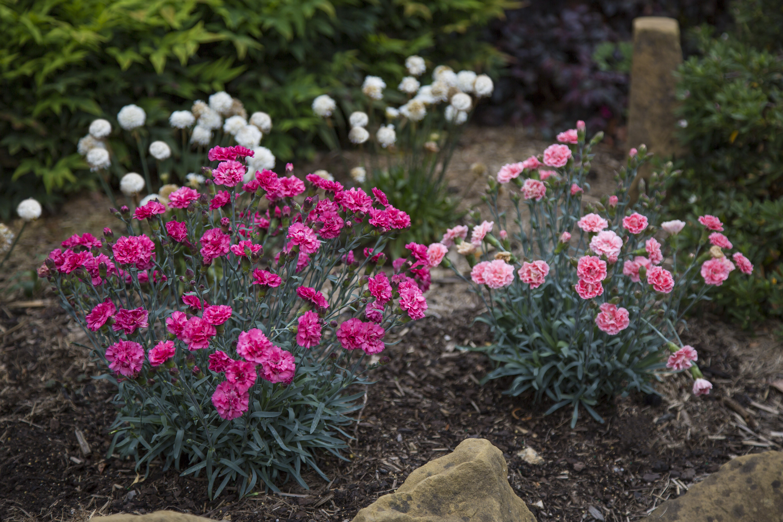 Website/Plants/2144399255/Images/Gallery/D.SugarPlum-DarkForm-9-Edit.0.jpg