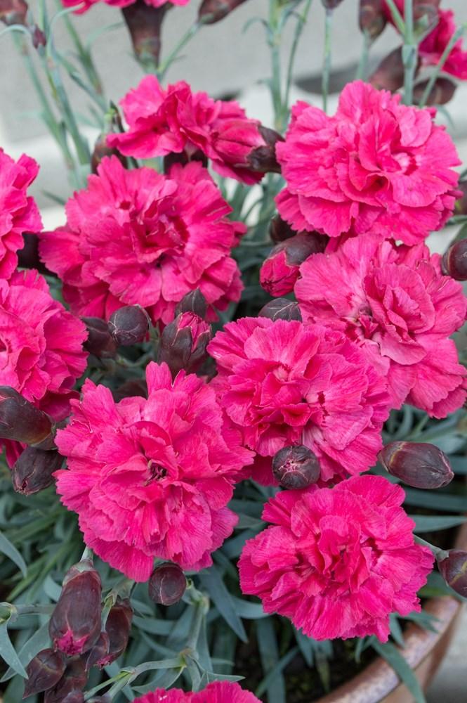 Website/Plants/2144399255/Images/Gallery/d_sugarplum_dark_pink_01.0.jpg