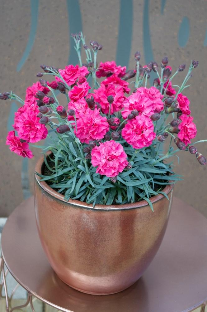 Website/Plants/2144399255/Images/Gallery/d_sugarplum_dark_pink_02.0.jpg
