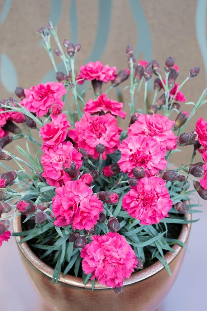 Website/Plants/2144399255/Images/Gallery/d_sugarplum_dark_pink_03.0.jpg
