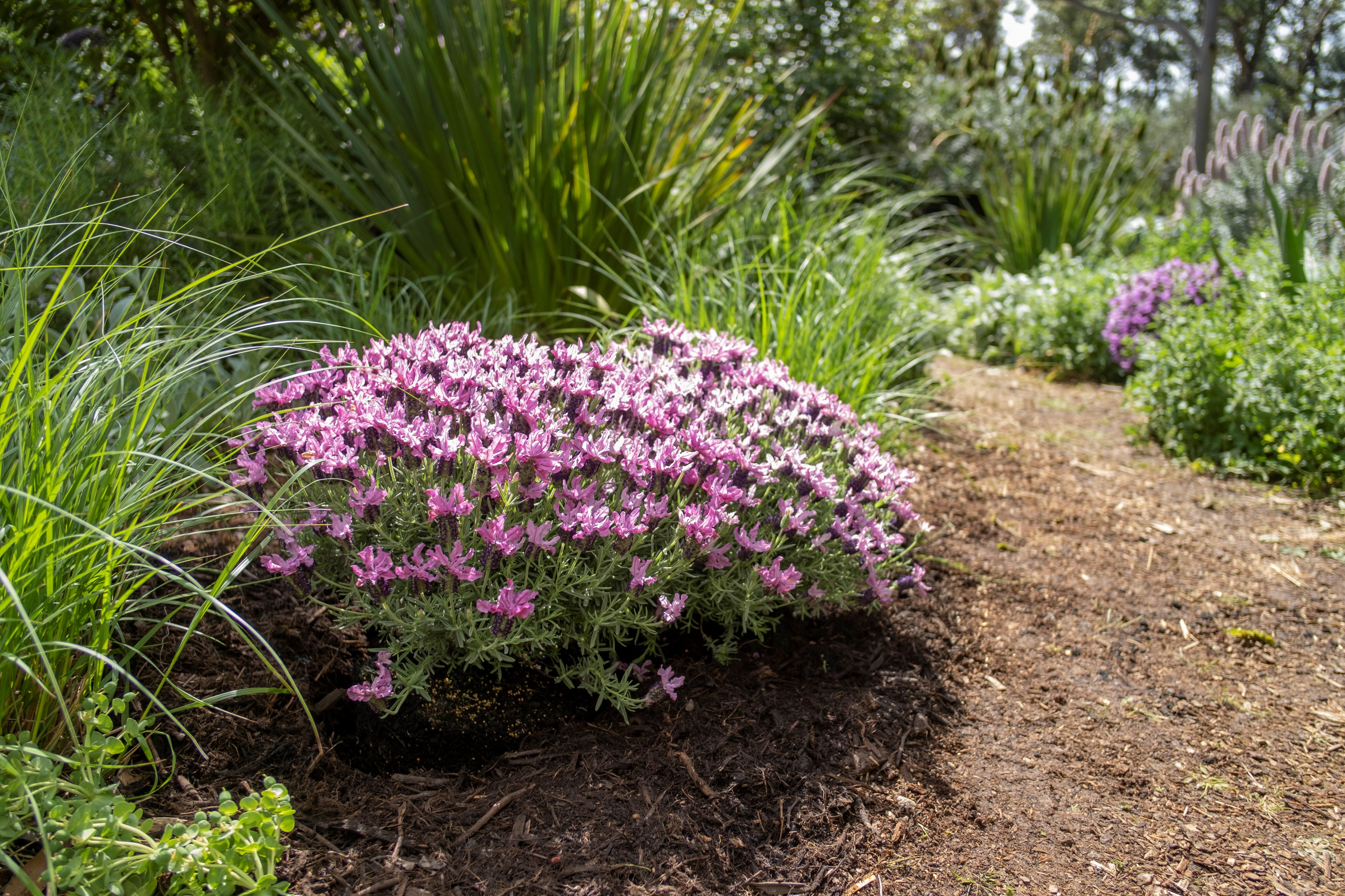 Website/Plants/2144399517/Images/Gallery/Lavandula_IB-510-48_02.0.jpg