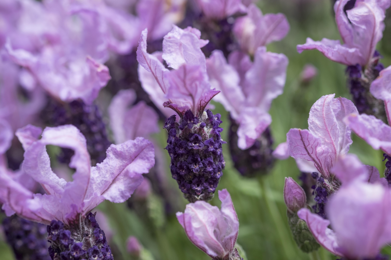 Website/Plants/2144399518/Images/Gallery/PMA_L.IB510-27_01.0.jpg