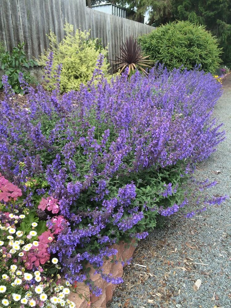 Website/Plants/220/Images/Gallery/n_walkersblue_01.0.jpg
