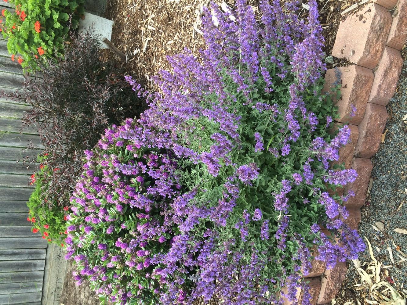 Website/Plants/220/Images/Gallery/n_walkersblue_02.0.jpg