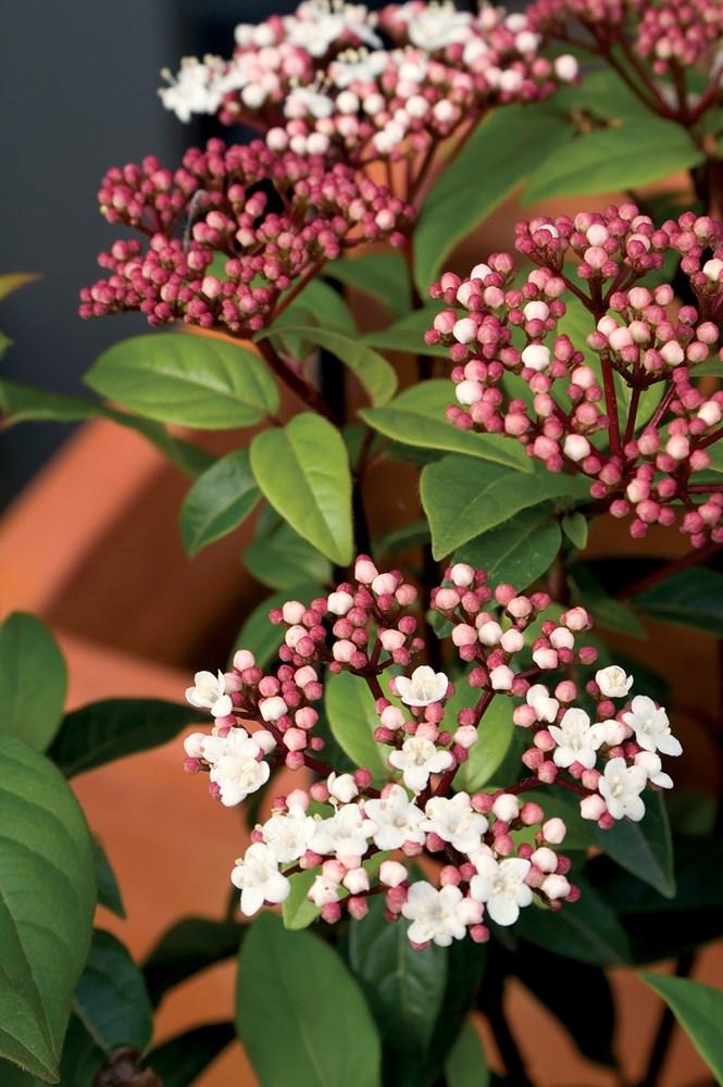 Website/Plants/244/Images/Gallery/v_anvi_02.0.jpg